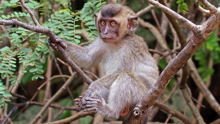 China stopped exporting monkeys once the pandemic started, and now researchers are scrambling to find primates for the final phases of COVID-19 trials.