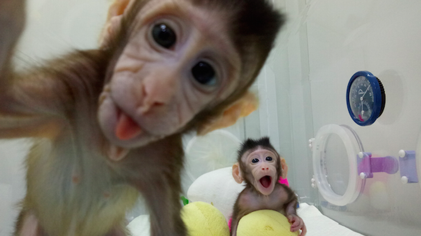 Zhong Zhong and Hua Hua are two monkey clones in China. It's the first time researchers have cloned a primate, and it could lead to major medical advances.