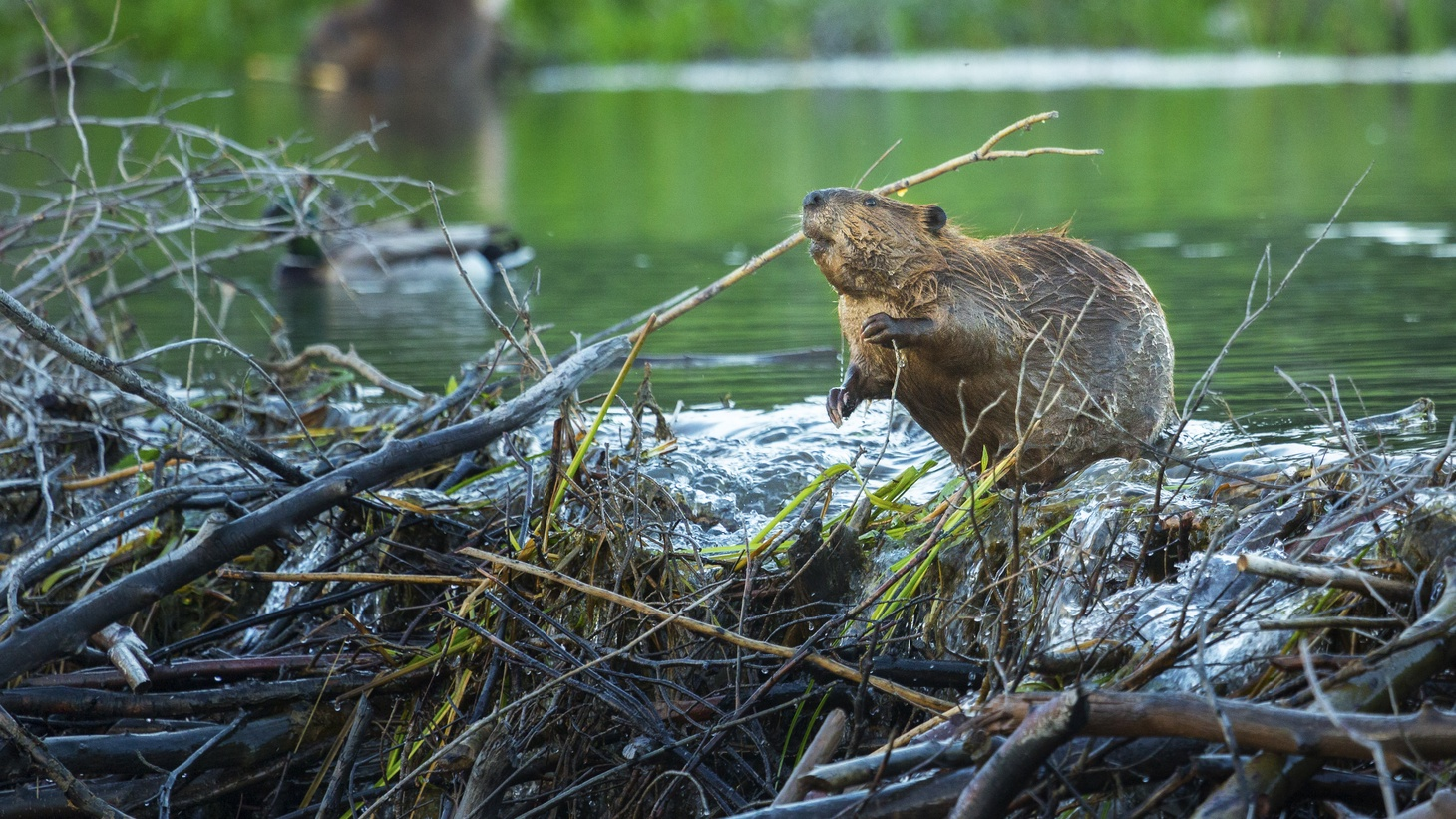 """""""[Beavers] are storing an enormous amount of water in the landscape. And then when you do have an ignition event, whether that's a match or a campfire or a power line … it's harder to burn,"""" says Emily Fairfax, professor of environmental science and resource management at CSU Channel Islands."""