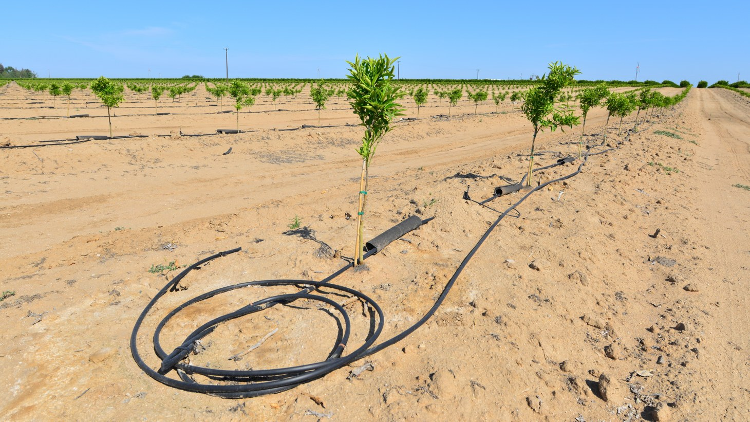 Newly planted almond trees on a San Joaquin Valley farm are watered with a drip irrigation system in a time of drought in California.