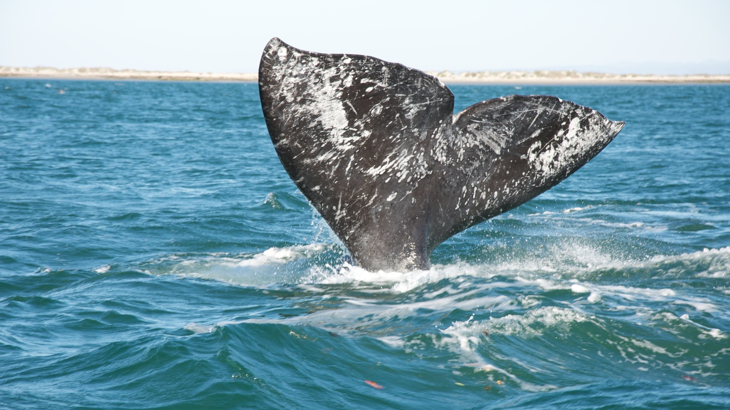 Gray whale.