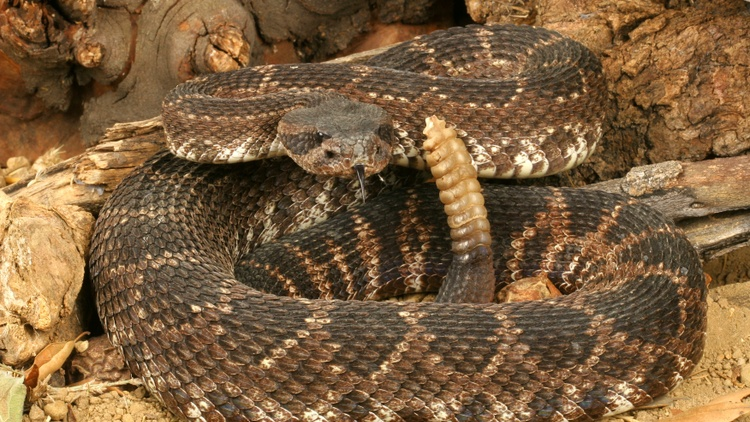 If you run into a snake, go around it because rattlesnakes typically only strike within 18 inches.