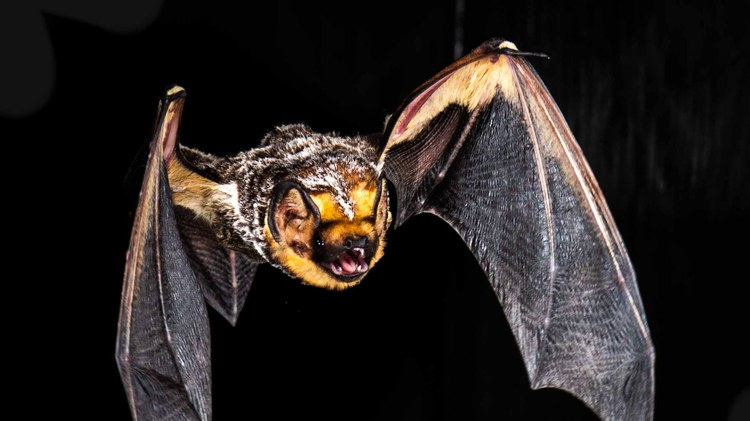 LA is home to 16 known species of bats. They are pollinators. They provide pest control. And they help keep diseases from spreading by eating lots of mosquitoes.