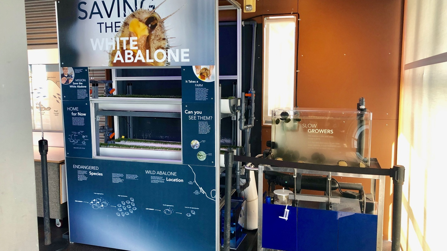 The endangered white abalone was once ubiquitous in the Santa Barbara Channel. Now a new exhibit at the Santa Barbara Museum of Natural History's Sea Center showcases efforts to breed the sea snails in captivity.