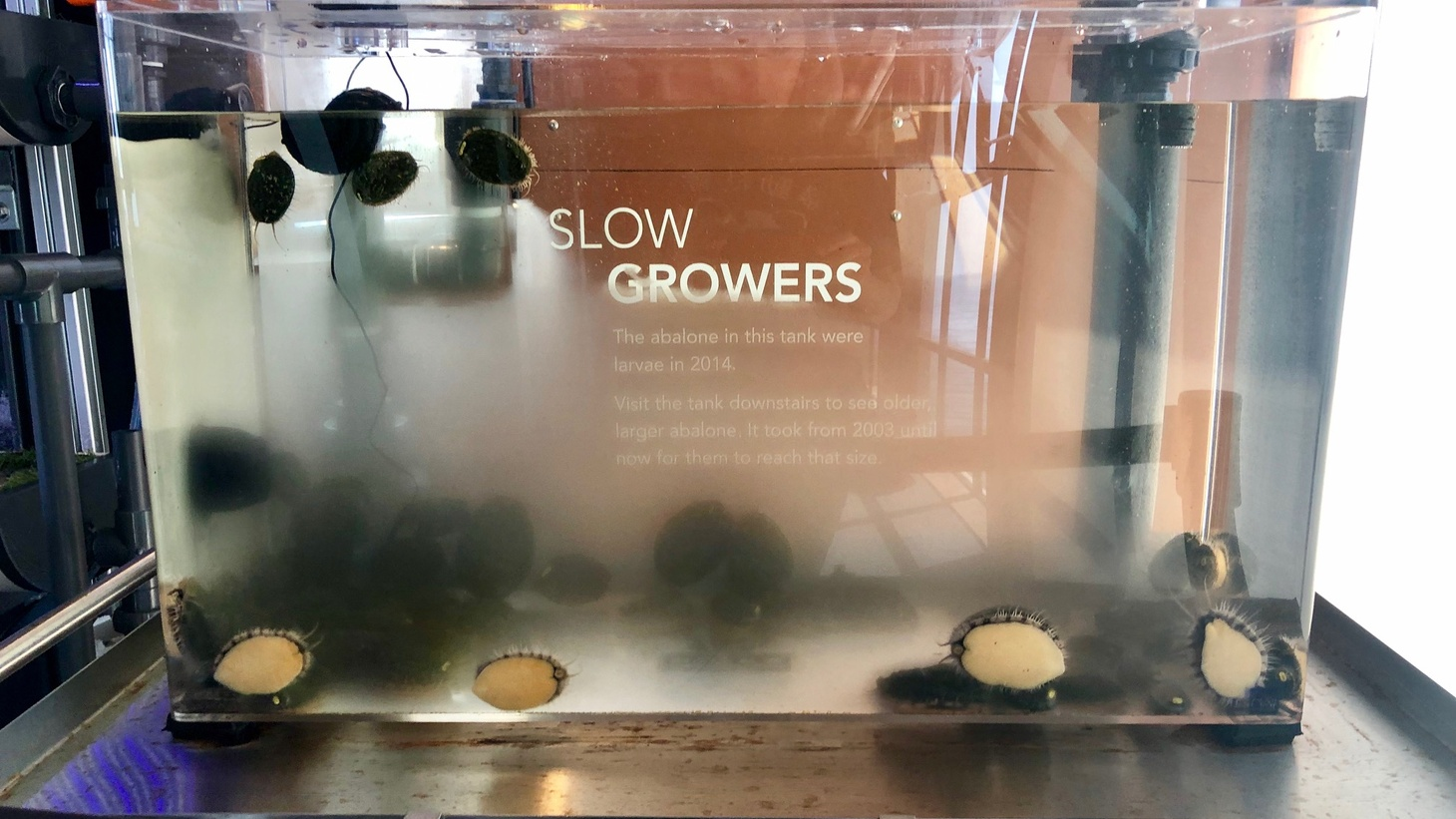 Conservationists use incubation tanks to raise white abalone in a protected captive environment. Then the abalone can be released into the wild.