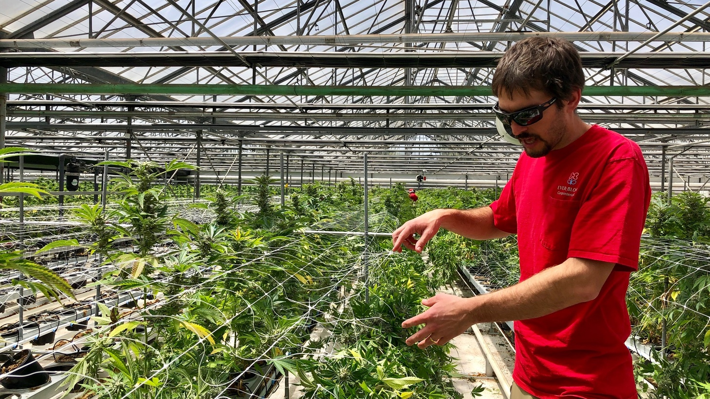 "Ivan Van Wingerden examines his ""sea of green."" He moved the longstanding family business out of flowers and into cannabis."
