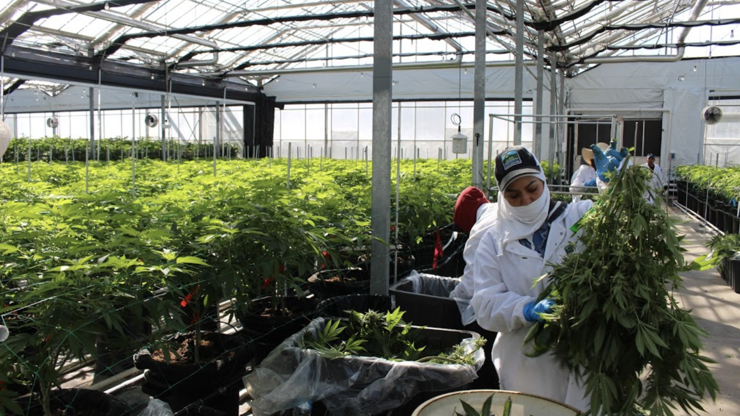 Cannabis growers inspect their crops under a large legal cannabis growing operation in Carpinteria.