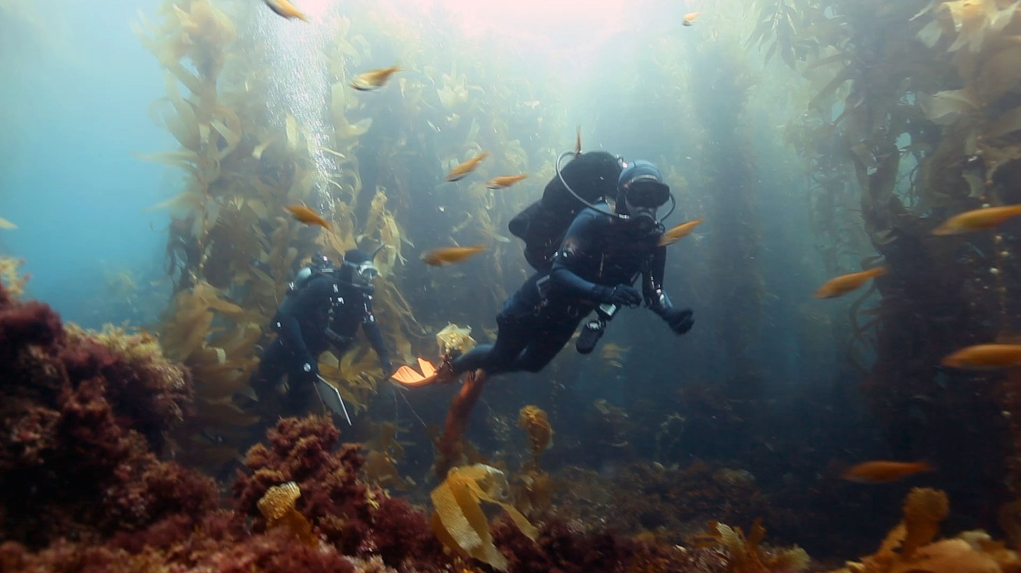Divers have long been drawn to the golden-colored kelp forests and diverse wildlife off the coast of Santa Cruz Island.