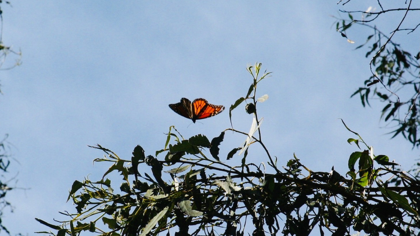 California monarchs overwinter on Eucalyptus at Ellwood Mesa.