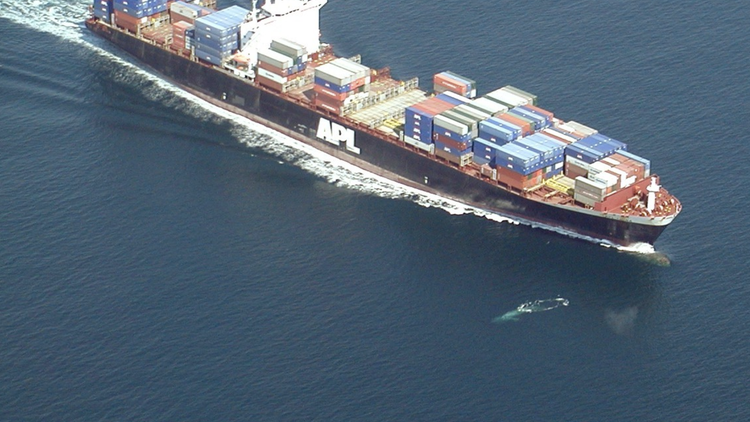 Around 80 whales are killed by cargo ships on the West Coast of the United States each year.