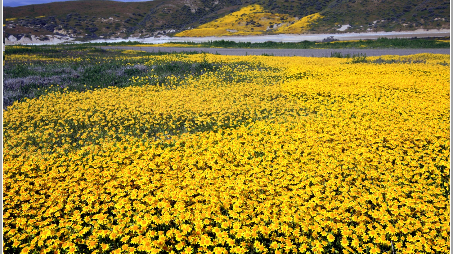 California goldfields (Lasthenia californica) in the Cuyama Valley. Photo credit: Denise Dewire, Courtesy of the Santa Barbara Botanic Garden