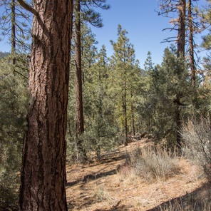 Will logging the Los Padres help stop wildfires?