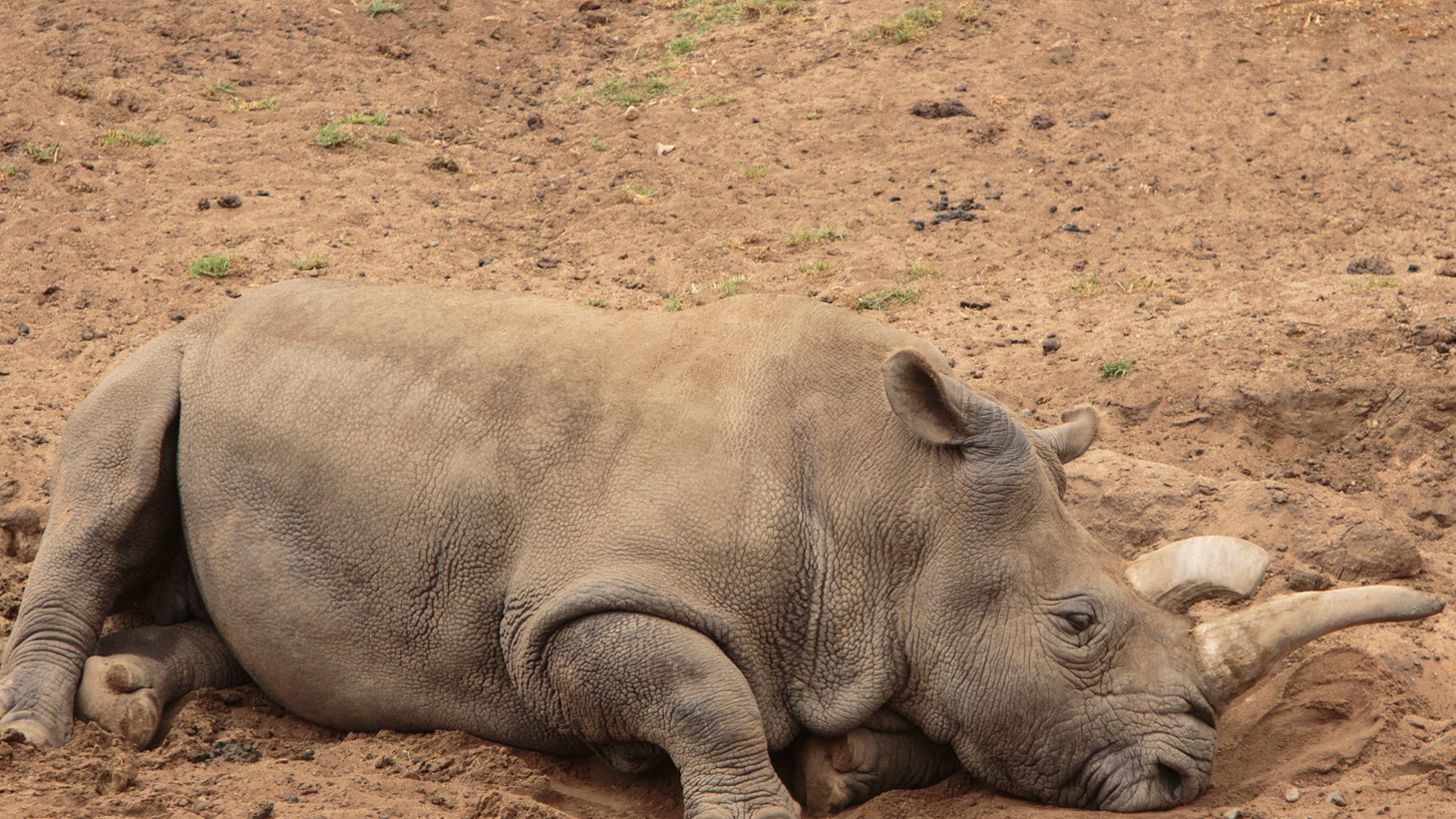 There are just three Northern White Rhinoceros left in the world after a fourth died yesterday at the San Diego Zoo of a bacterial infection and age-related health issues.  Nola, a female, had to be euthanized .