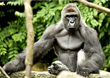 Zoo's Decision to Kill Gorilla Sparks Outrage