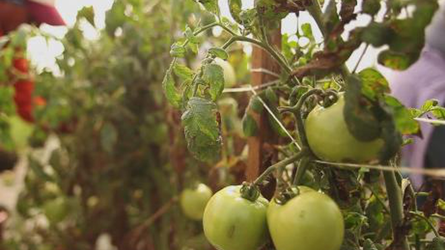 Tomato pickers in Florida have forged partnerships with major corporations to pressure growers to treat workers more humanely. Now Walmart has signed on to the program.