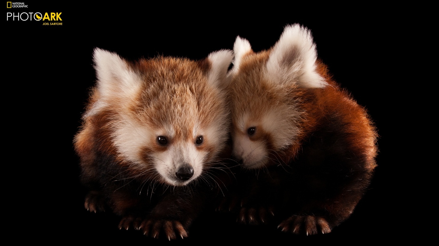 A pair of Endangered Red panda cubs (Ailurus fulgens). Photographed at the Lincoln Children's Zoo, Lincoln, Nebraska.  Through National Geographic Photo Ark EDGE Fellowships, National Geographic and the Zoological Society of London (ZSL) provide funding, training and capacity development to young conservationists working to protect at risk species that are featured in the Photo Ark, like the Red panda.