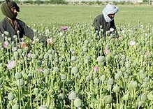 Illegal Drugs, Politics and the War in Afghanistan