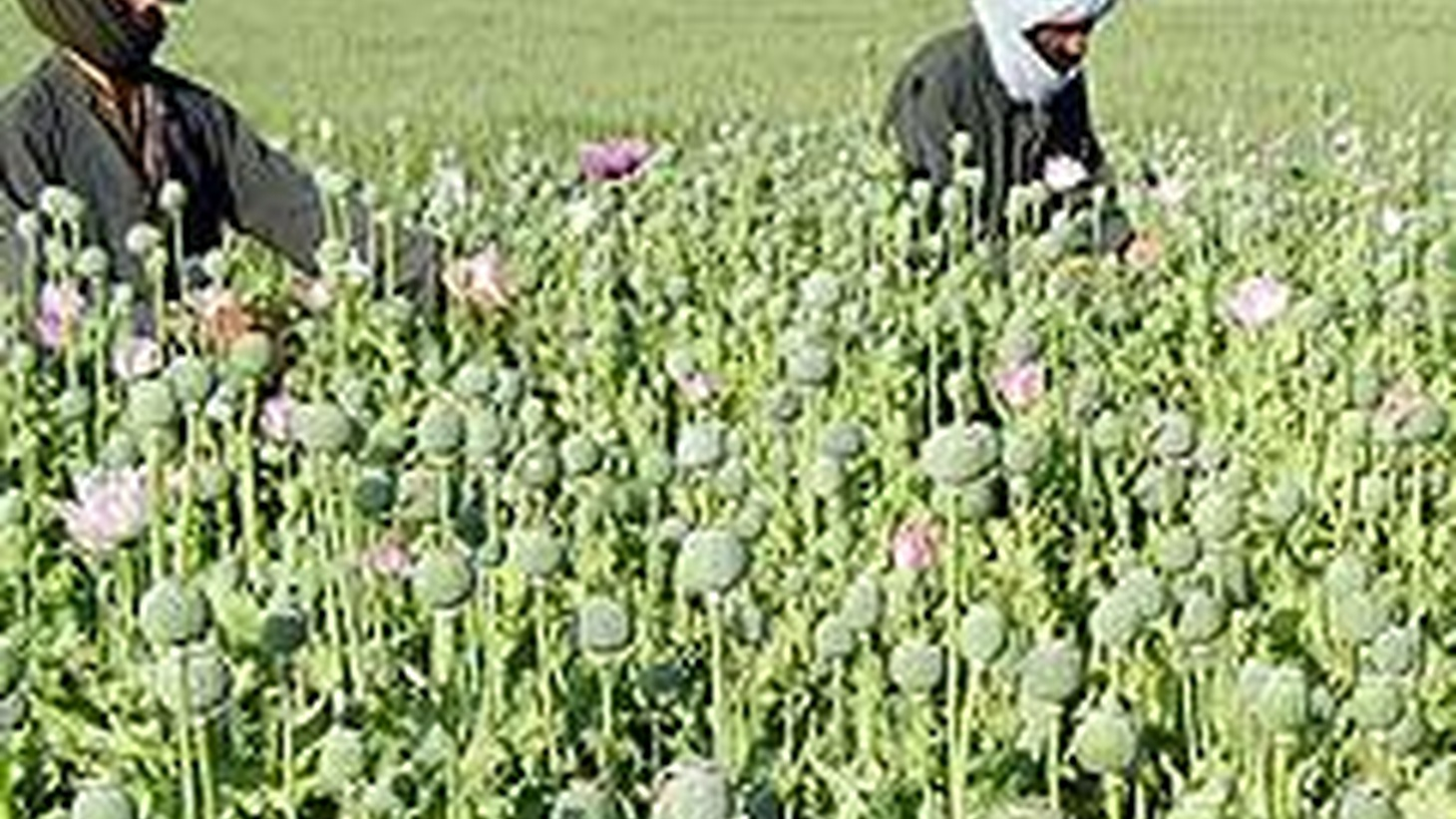 The opium poppy is financing the return of the Taliban in Afghanistan, but President Hamid Karzai is protecting opium traffic in order to stay in office.  We hear dramatic claims by a high-level US official who can tell his story now that's resigned. Also, Alaska Senator Ted Stevens indicted, and gas means gold in rural Louisiana.