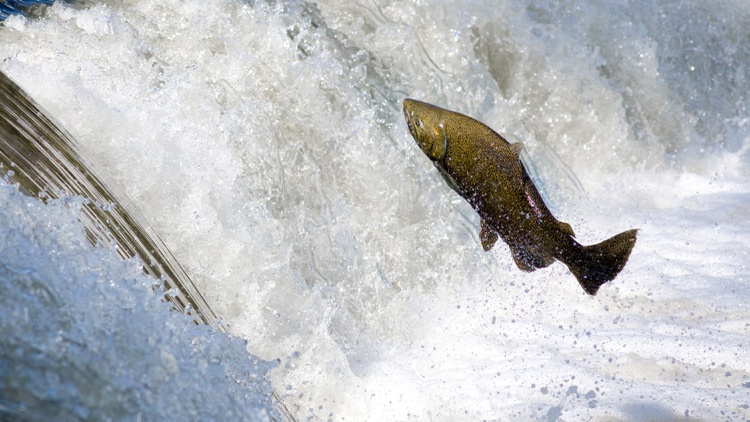 The AquaAdvantage salmon has been genetically altered to grow faster than other Atlantic salmon.