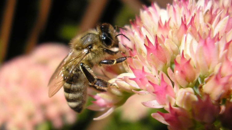 Where have all the honeybees gone?