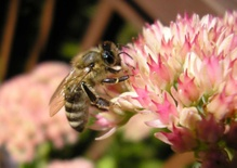 The Ailing Honeybee and the Nation's Food Supply