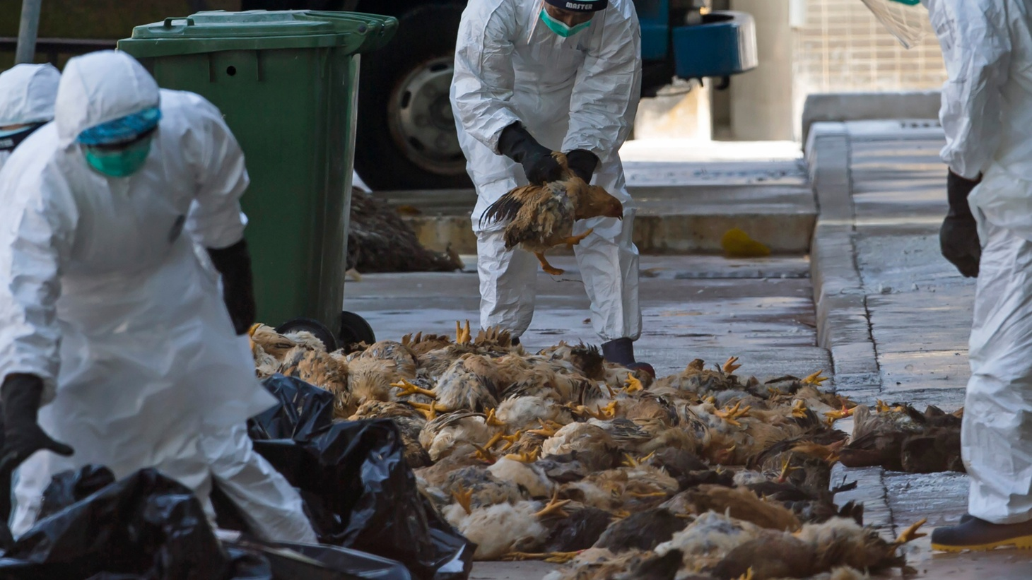 America's poultry industry is under assault as never before from bird flu. It's thought to have started with migrating wild geese, but nobody knows why it's spreading. So far, there's no threat to the food supply, but prices could be on the rise and the future is full of uncertainties.