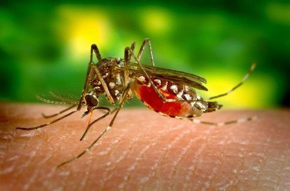 mosquito-jentavery.jpg