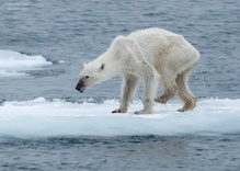 Viral Photo of Polar Bear Captures the Story of Climate Change