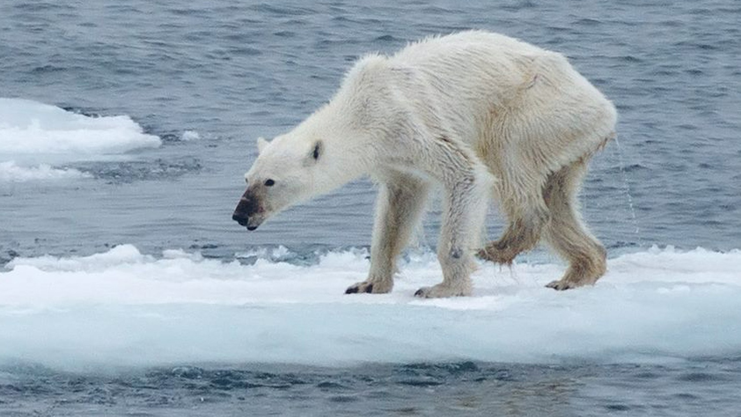 Among the most conspicuous victims of climate change are polar bears. Now, a disturbing photograph of a polar bear has gone viral. The creature is reduced almost to skin and bone, hobbling along a narrow ice sheet somewhere in the Arctic. It's a graphic illustration of the devastating impact of climate change on wildlife.