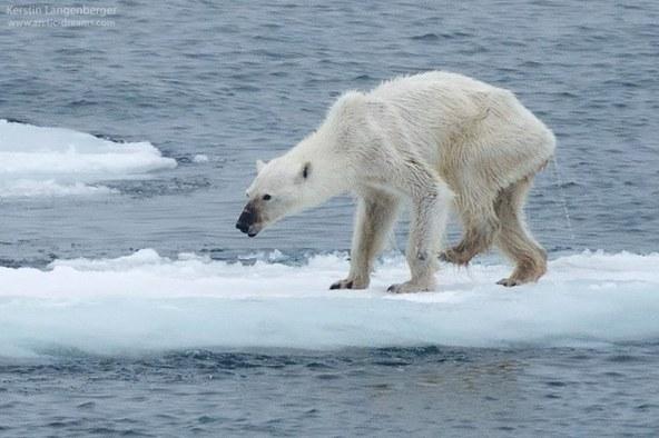 tp150915Photo_of_Polar_Bear_KerstinLangenberger.jpg