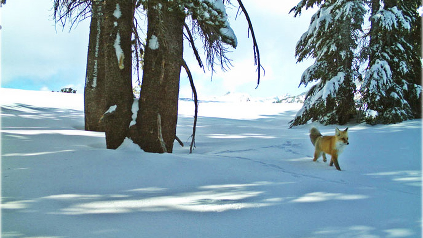 For the first time since 1915, a Sierra Nevada Red Fox has been photographed by a hidden camera. Sarah Stock is a wildlife biologist at Yosemite National Park. 