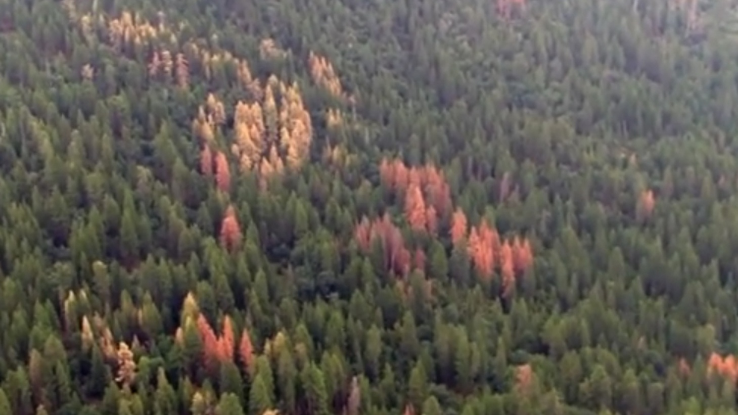 Drought has turned local forests into a massive tinderbox of dead trees, and the predicted El Niño is unlikely to bring them back to life. We hear about a high-tech aerial investigation that's turned up new challenges for fire control, erosion and water quality.
