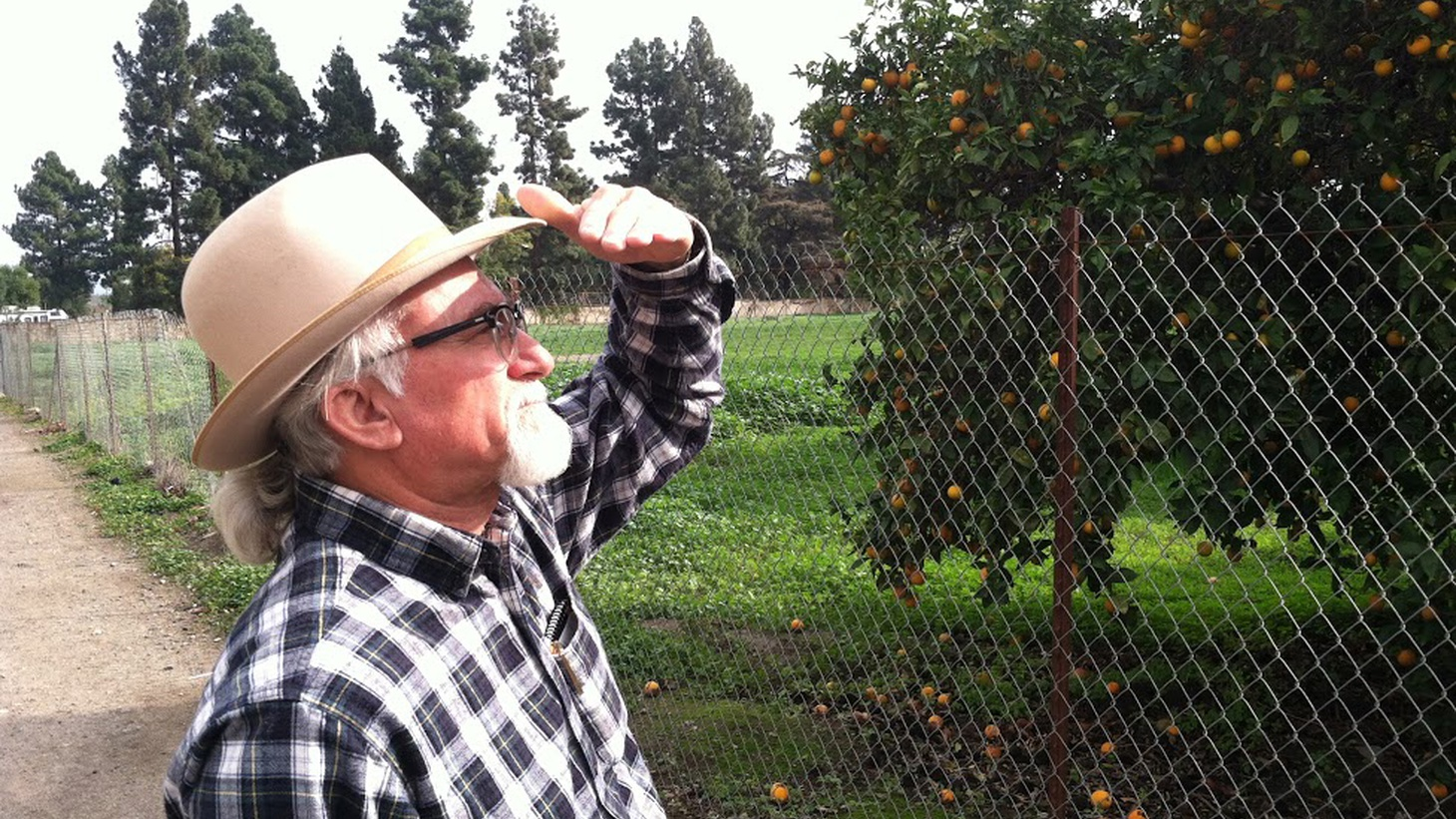 """One hundred years ago, orange groves were described as """"a second gold rush"""" in California, and they helped add to local prosperity and population growth. But looking at Orange County today, you'd hardly know how it got its name. Independent producer Daniel A. Gross has a report."""
