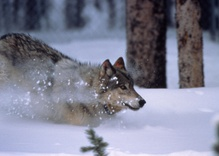 Yellowstone Wolf Killing Casts Spotlight on Wolf Policy